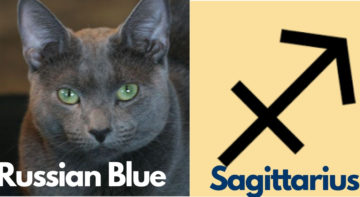 sagittarius-maine-coon-cat
