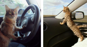 cats enjoy car travel