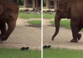 elephant attempts to play with cats
