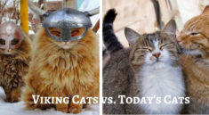 viking cats different to todays cats