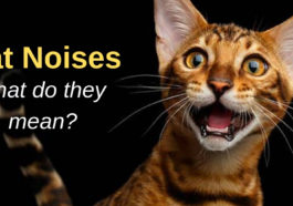 why do cats make noises