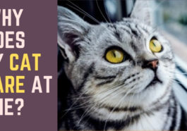 Why Do Cats Stare at Other Cats?