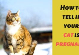 All about cats pregnancy