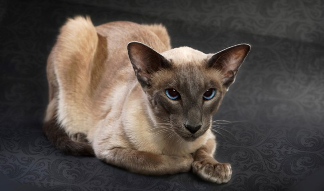 Balinese cat with cute ears