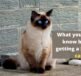 what you should know before getting a siamese cat